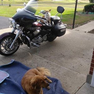 My biker dogs. The little one rides with me.